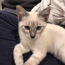 Siamese Kittens - Global Pets Farm