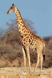 picture of a giraffe. Wonderful Picture Intended Picture Of A Giraffe L