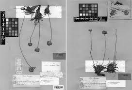 Lectotypification of Statice canescens Host and Armeria majellensis ...