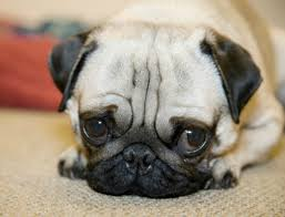really cute pug puppies. Simple Pug Cute Pug Puppies Inside Really