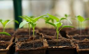 transplanting seedlings how and when