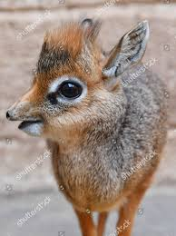 Foto stock editoriale Thanos Onemonthold Baby Kirks Dik Dik Which -  Immagine stock