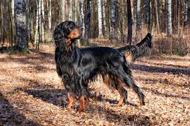 English Setter Weight Chart Gordon Setter Dog Breed Information