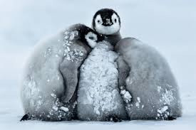 cute penguins. Brilliant Penguins Penguin Chicks Huddle Against The Cold As They Are Covered In Snow And Ice  Freezing In Cute Penguins G