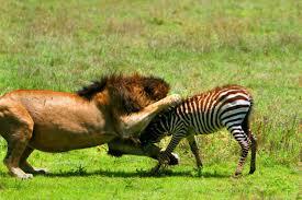 lioness hunting zebra. Contemporary Zebra Lion Hunting Zebra Epic Inside Lioness Hunting Zebra N