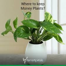 money plant placement