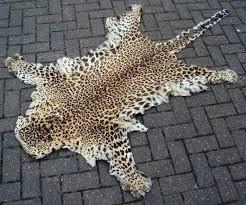 cheetah skin rug antique taxidermy real leopard skin rug pelt big cat tiger cheetah real cheetah