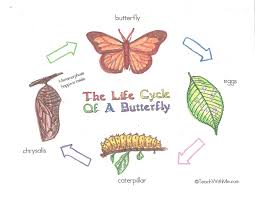 Butterfly Life Cycle Poster Charts Classroom Freebies