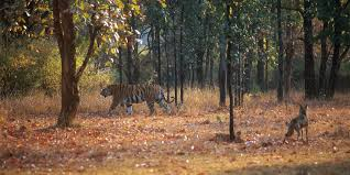 Certainly, tiger is more powerful, even to fight 3 wolves vs. Wolves Bengal Tiger Tigris Tigris And Indian Wolf