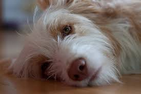 dog flu is the viral cause your dog may have the flu if she is coughing sneezing loses her ap or has a fever less energy a runny nose or labored