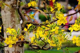 Kết quả hình ảnh cho hoa mai vàng