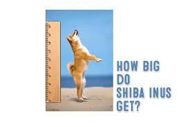 Shiba Inu Growth Chart How Big Does A Shiba Inu Get My First Shiba Inu