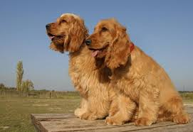 How Much Should A Cocker Spaniel Weigh 4 Steps