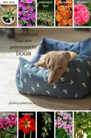 10 houseplants that are poisonous for dogs