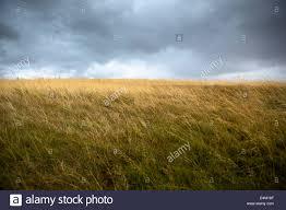 tall grass field sunset. Field Of Tall Grass Blowing In Wind Sunset