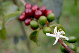 And geisha coffee is one of them. Gesha Coffees Are Here What Makes Gesha So Special Nossa Familia Coffee