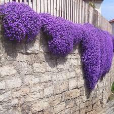 <b>100pcs</b> Rock Cress,Aubrieta Cascade Purple FLOWER bonsaiS ...