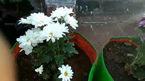 rose plants and other flowering plants to grow at terrace garden organic terrace gardening tamil