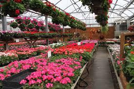 geraniums fills the garden center benches