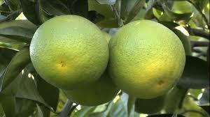 Registrar também que as folhas dos citros são importantes órgãos de reserva, assim uma poda. Laranja Da Terra 1 Muda Enxertada Ja Produzindo Manah Da Terra