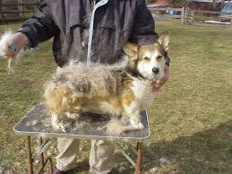corgi s fur grows randomly across their which consequently results in random shedding no matter the season your corgi will have the double coat
