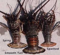 Lobsters South Atlantic And Gulf Of Mexico Florida Go Fishing