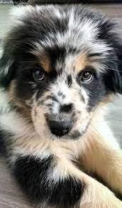 Wir zeigen dir jede hunderasse im rasseportrait. Tolle Kleine Hunderassen Jenseits Von Suss Susse Tiere Hunderassen Jen Hunderassen Welpen Aussie Welpen