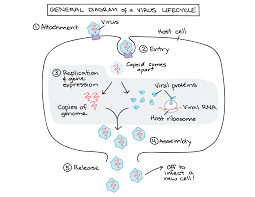 Bacteria And Viruses Venn Diagram The Immune System Review Article Khan Academy