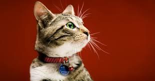 Le chat, le � meilleur ami � de l'homme