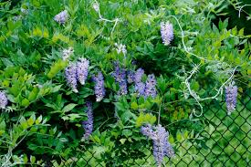 Plants That Grow On Fences Covering Chain Link Fences With VinesClimbing Plants For Fence