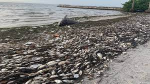 Red tide update: Bloom concentrations ...