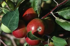 Buy Kitchen Garden Fruit Trees Delivery By Waitrose Garden In Red Leaf Fruit Tree