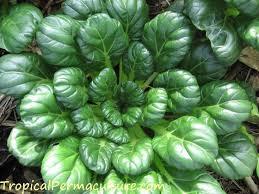 growing tropical vegetables growing