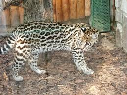 ocelot size picture 9 of 9 ocelot leopardus pardalis pictures images
