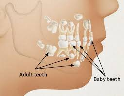 Which Baby Teeth Fall Out Chart Baby Teeth When They Come In When They Fall Out