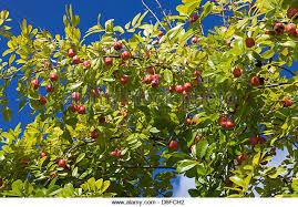 Jamaican Otaheiti AppleJamaican Fruit Trees
