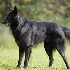 belgian belgian groenendael dog breed