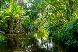amazon rainforest. Brilliant Rainforest Tall Trees Are Crucial For The Survival Of Amazon RainforestTall  Rainforest On Rainforest N