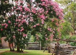 Save The Crepe Myrtles! Don't Lop the Top- Instead, Prune Them Properly –  Natural Tendencies Landscaping Charleston SC