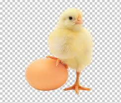 Plymouth Rock Chicken Chicken Or The Egg Organic Food