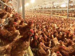 Afbeeldingsresultaat voor kippenstal