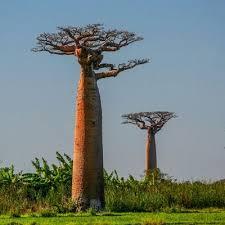 <b>Organic Baobab</b> Carrier <b>Oil</b>