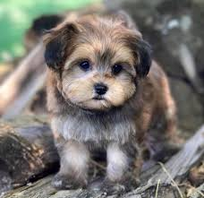 previous yorkie poo puppy