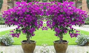 patio tree patio trees in containers small potted trees patio ideas for using large garden containers