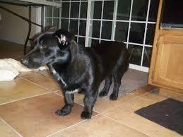 corgi lab mix puppies. Brilliant Mix CorgiBlack Lab SHARE  And Corgi Lab Mix Puppies E