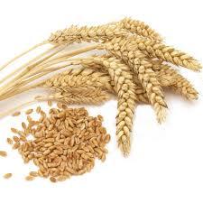 Разновидности мягкой и твердой пшеницы ХитАгро ru Пшеница