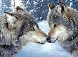 Resultado de imagem para alcatéia de lobos