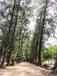 pine tree garden lifestyle thailand stock photo 77373930