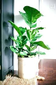 large indoor plants house big floor houseplants tall for large indoor plants