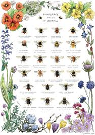 Bee Identification Chart Uk Bees Of The Uk By Catherinepapeillustration Bee Keeping